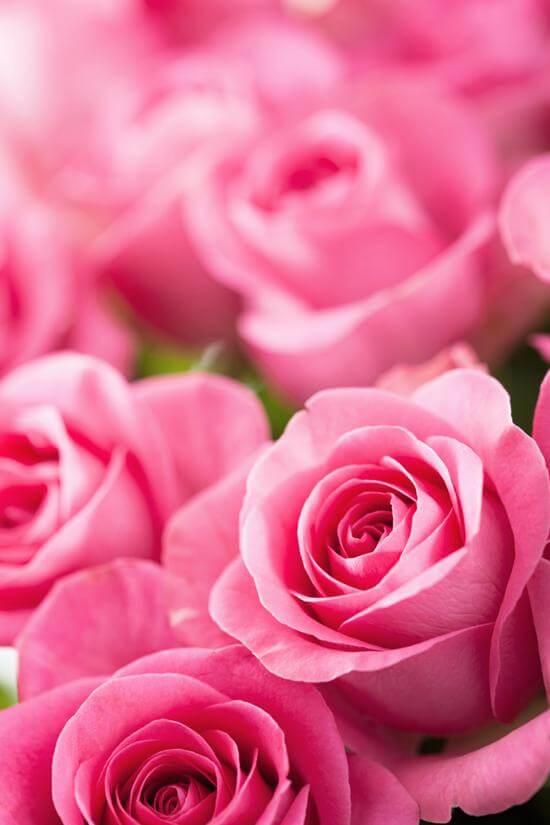 Rosa Damascena (Rose of Castille)